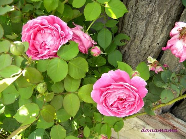 dulceata de trandafiri6